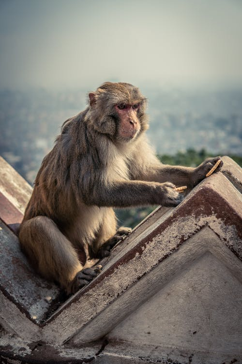 Free stock photo of monkey