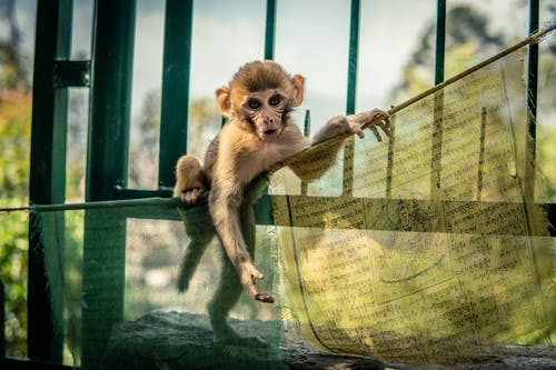Free stock photo of baby animal, baby monkey, monkey, small monkey