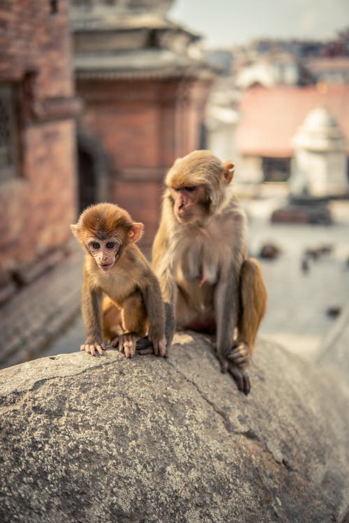Free stock photo of baby monkey, cute animal, monkey, small animal