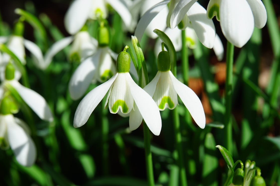 White-and-green Snowdrop Flowers Close-up Photography