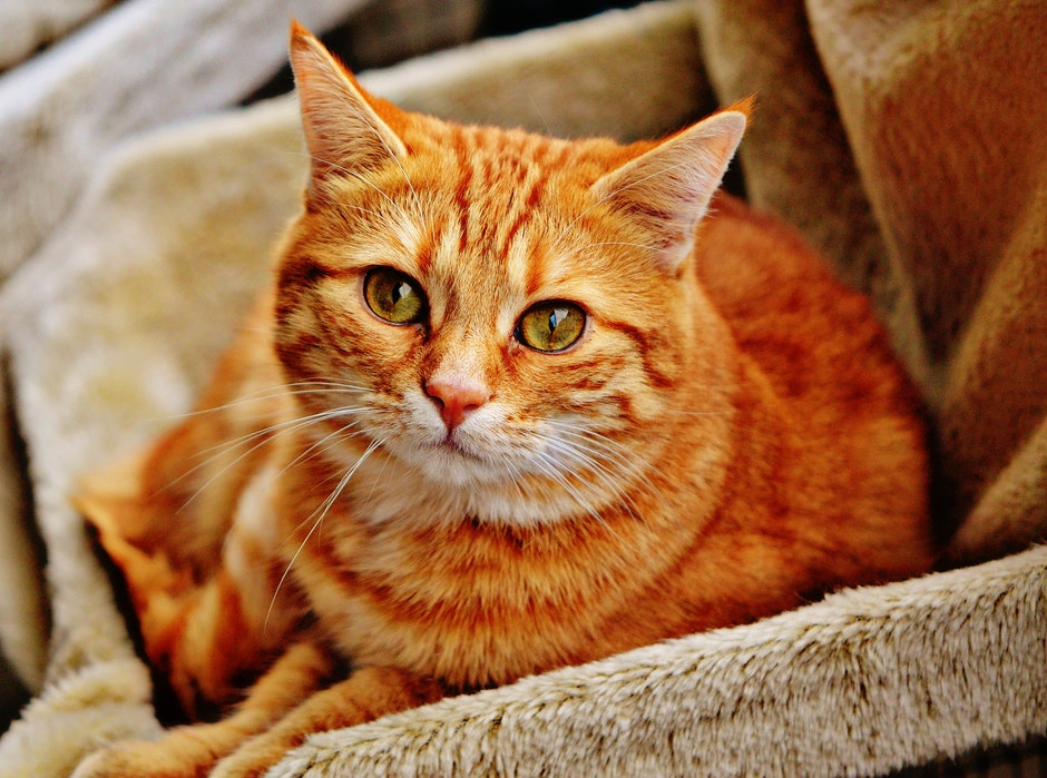 Orange Tabby Cat Laying on Brown Sofa