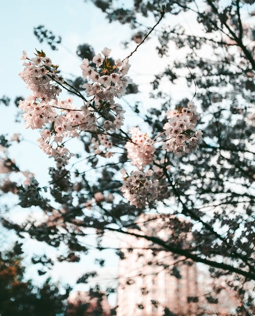 Fotos de stock gratuitas de árbol, Canadá, cerezos en flor, flor de cerezo
