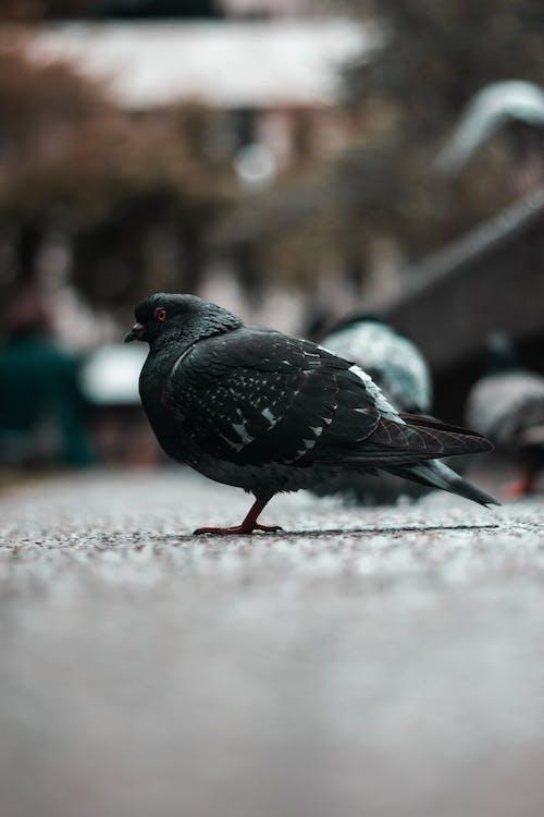 Ảnh lưu trữ miễn phí về bộ lông, chim, chim bồ câu, chụp ảnh động vật