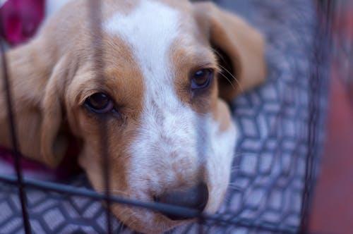 Kostnadsfri bild av basetthund, hund, ledsna ögon, puupy