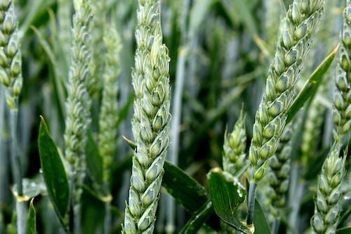 Free stock photo of macro, plant, wheat