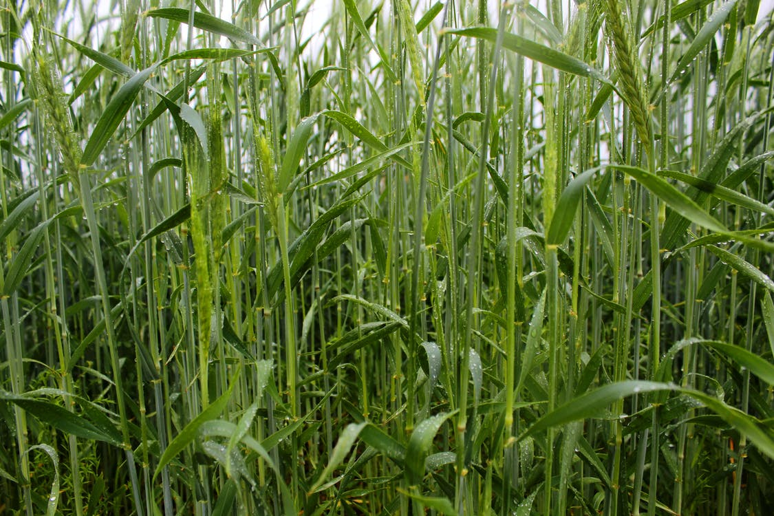 Безкоштовне стокове фото на тему «великий план, Пшениця»