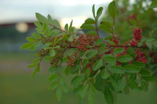 Free stock photo of berries, blurry background, bokeh, green