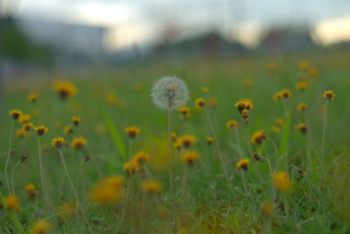 Free stock photo of bokeh, dandelion, flowers, grass