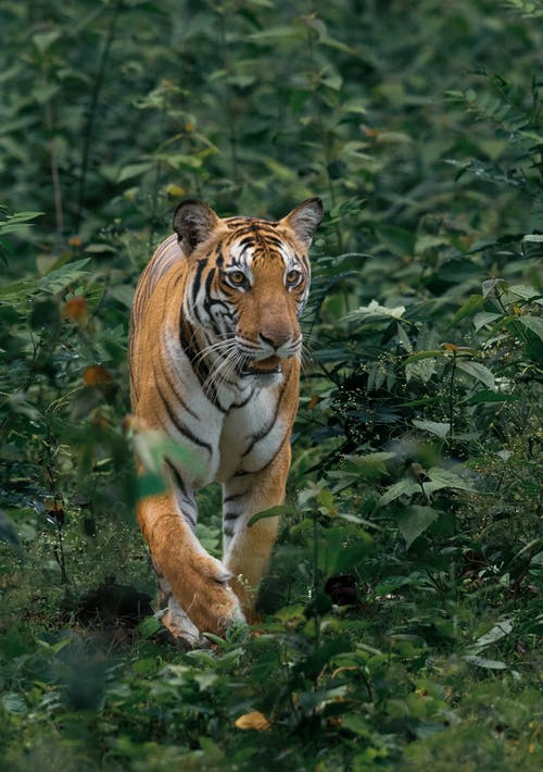 Photo of Tiger Walking Near Plants