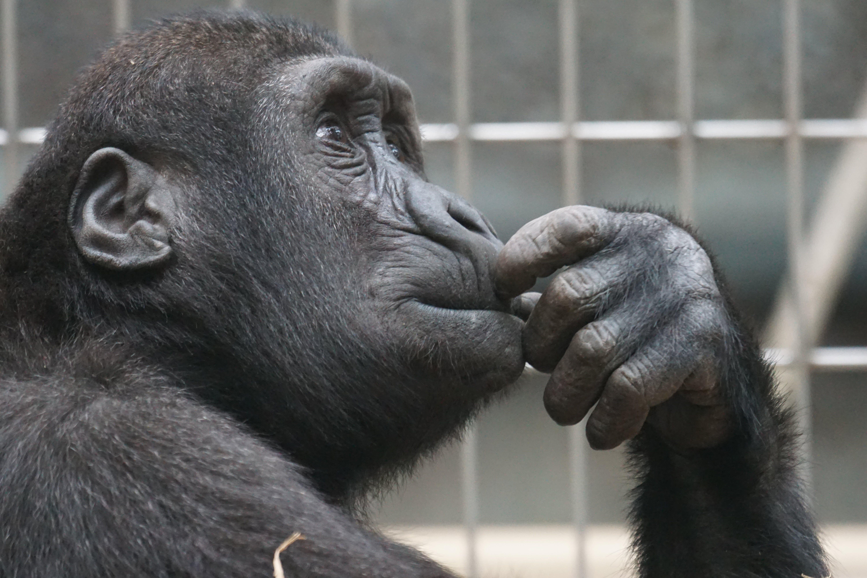 Close-up Photography of Black Gorilla