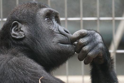 Free stock photo of zoo, ape, monkey, thinking