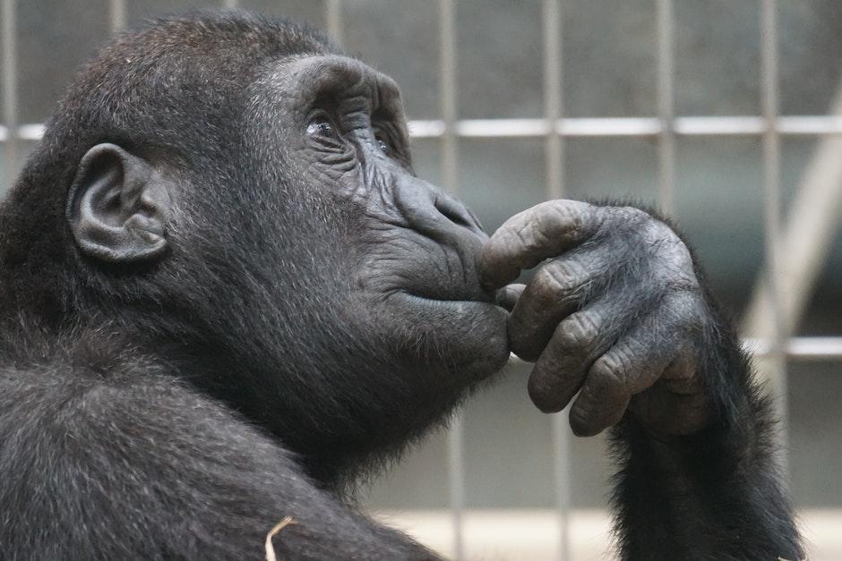 ape, chimp, chimpanzee