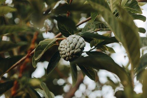 Imagine de stoc gratuită din creangă, creștere, focalizare selectivă, fruct
