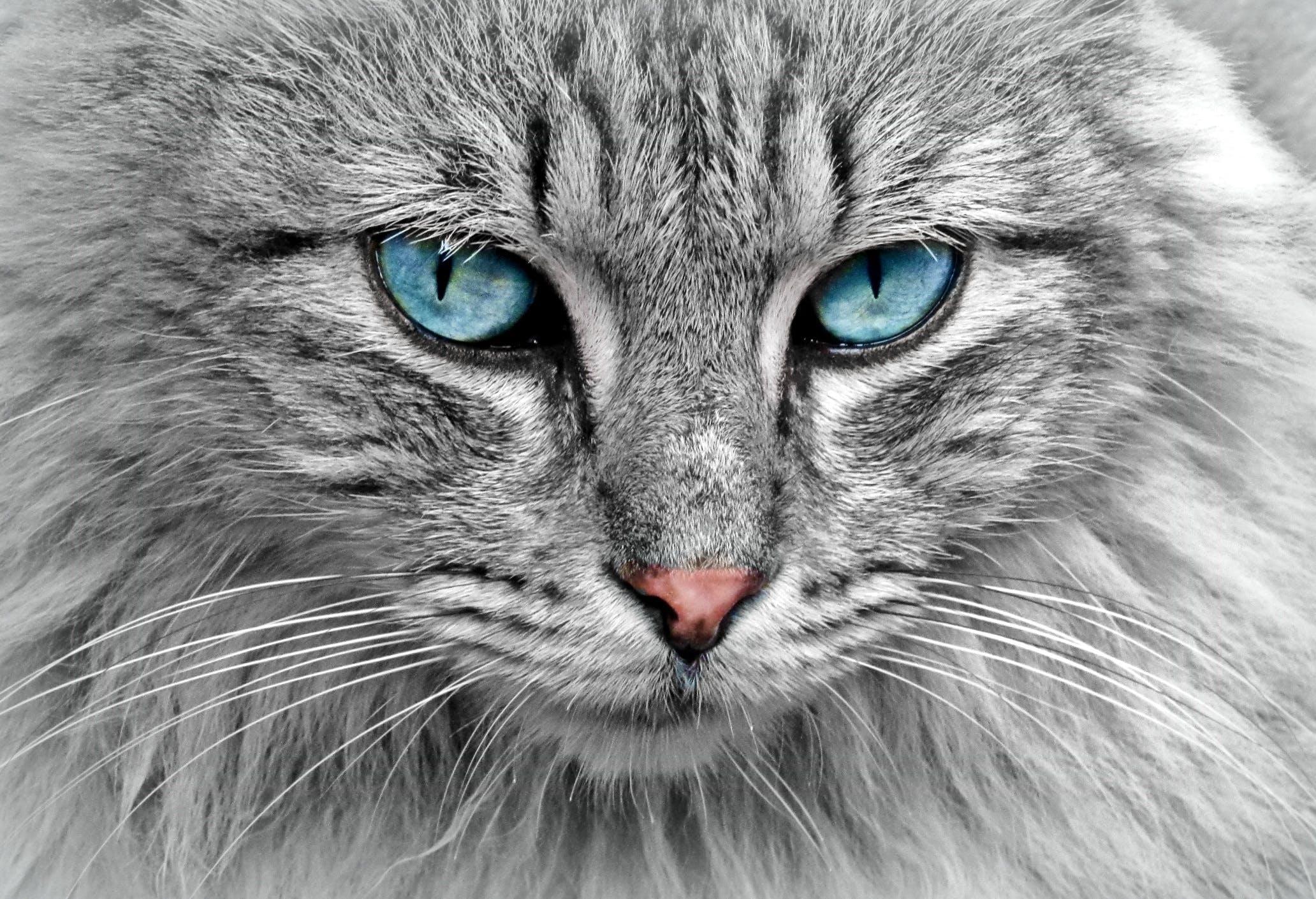 Free stock photo of animal, pet, eyes, grey
