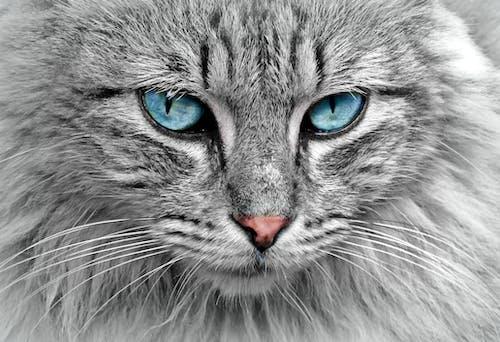 Ilmainen kuvapankkikuva tunnisteilla eläin, harmaa, kissa, lemmikki