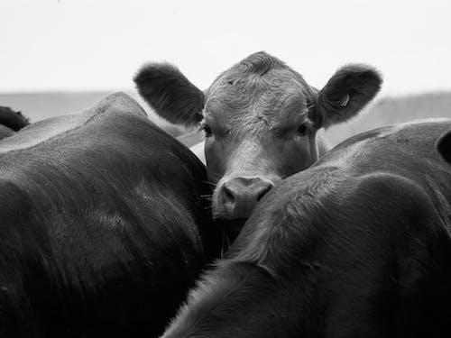 Foto d'estoc gratuïta de blanc i negre, toro, toros