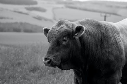 Foto d'estoc gratuïta de blanc i negre, toro