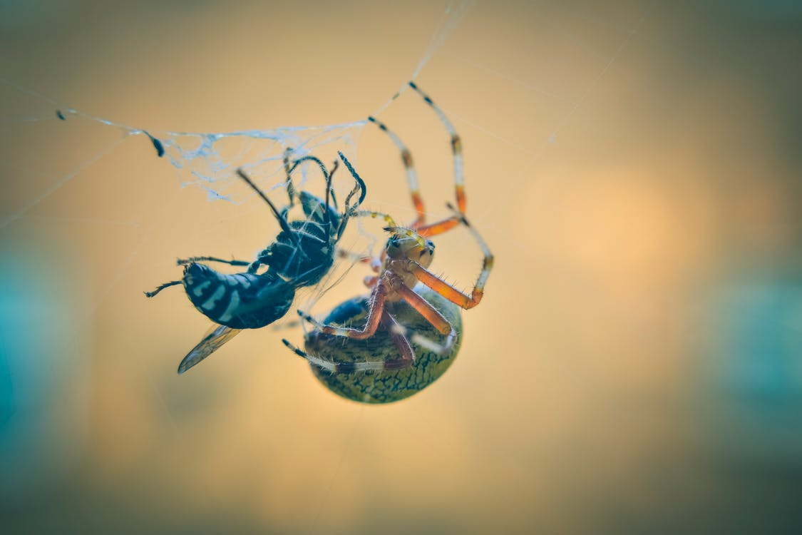Bee Trapped on Spiderweb Beside Spider
