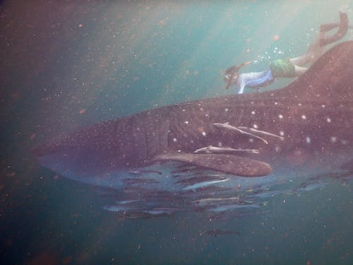 Woman Swimming With Whaleshark