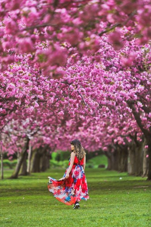 Fotobanka sbezplatnými fotkami na tému čerešňové kvety, čerešňový kvet, človek, exteriéry