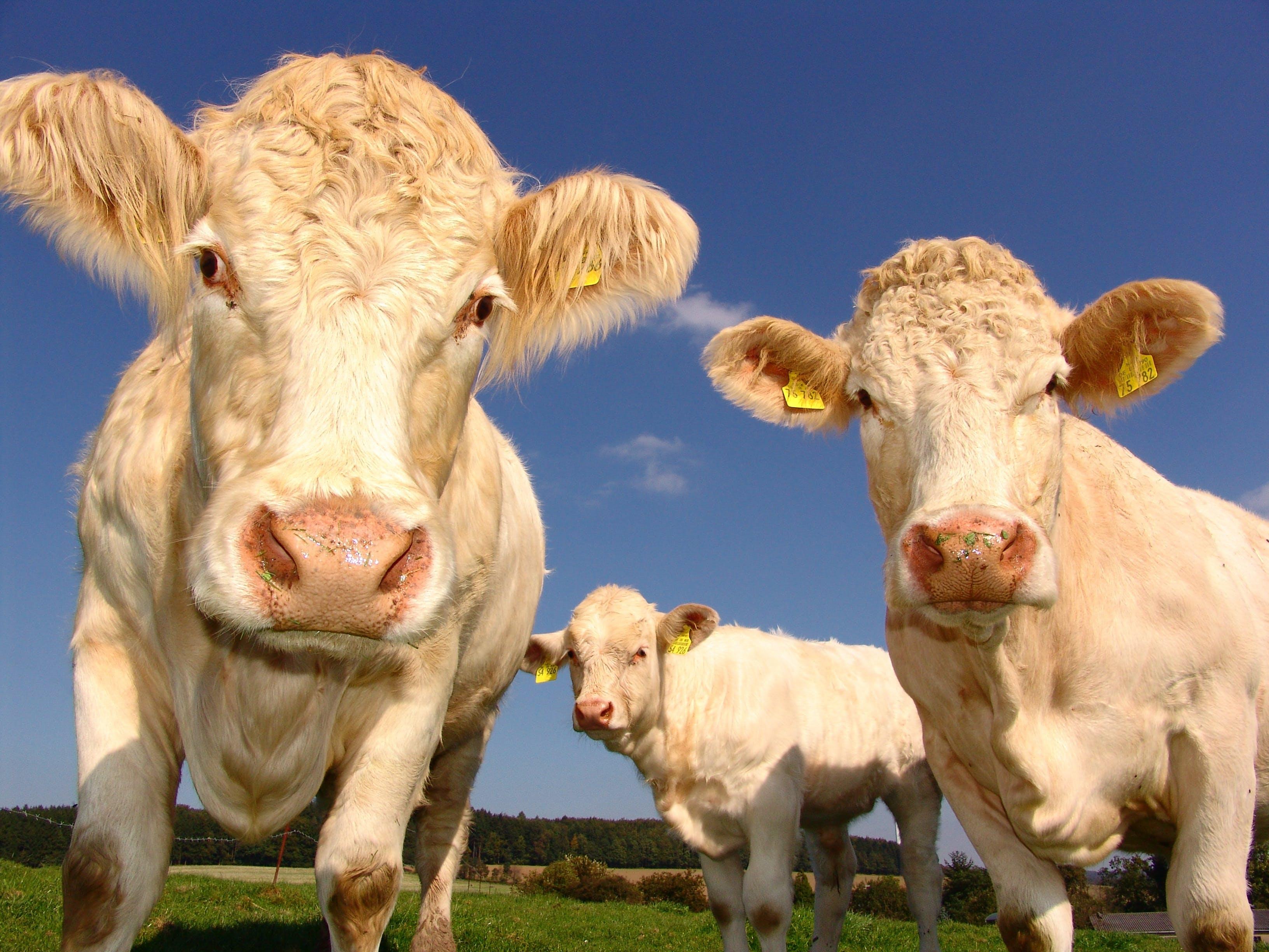 3 Cows in Field Under Clear Blue Sky