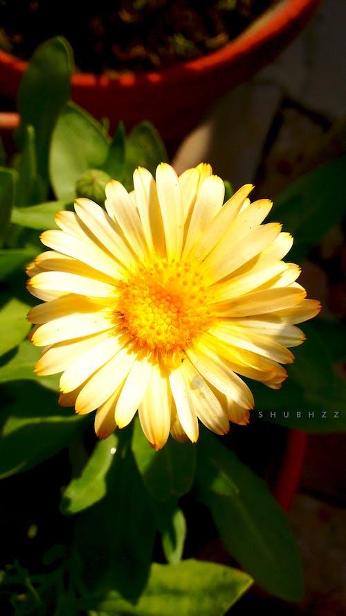 Free stock photo of beautiful flowers, golden sun, golden yellow
