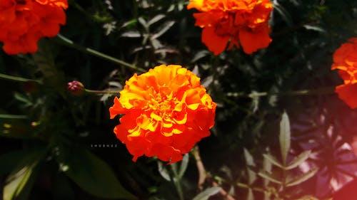 Free stock photo of beautiful flowers, bunch of flowers, evening sun