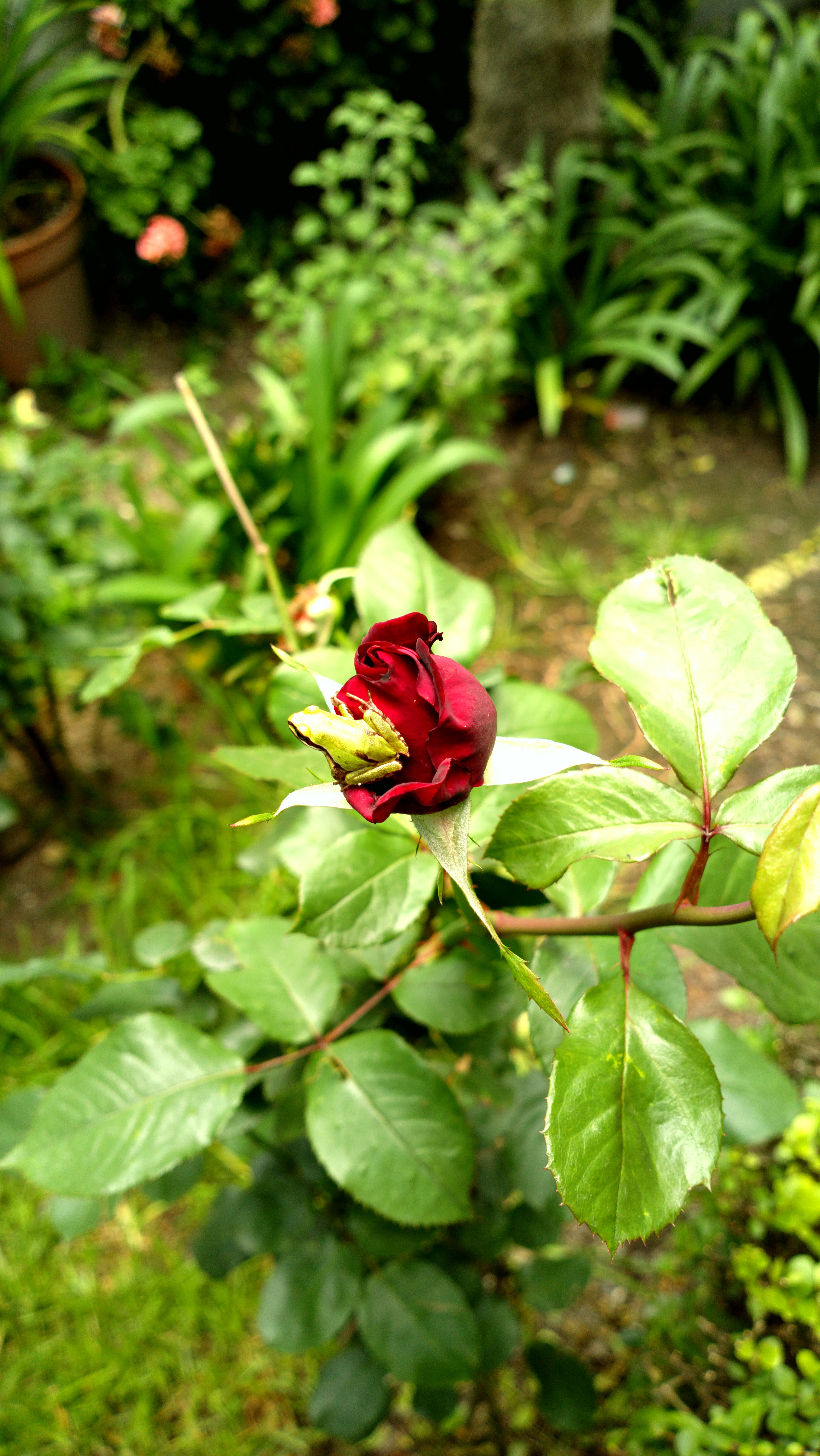 Free stock photo of garden flower, nature, red roses, rose