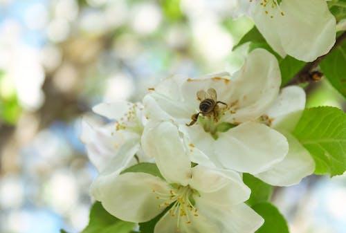 Immagine gratuita di ape, bellissimo, estate