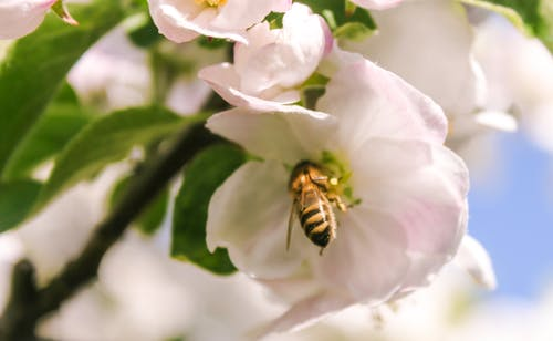 Immagine gratuita di ape, estate, fiore