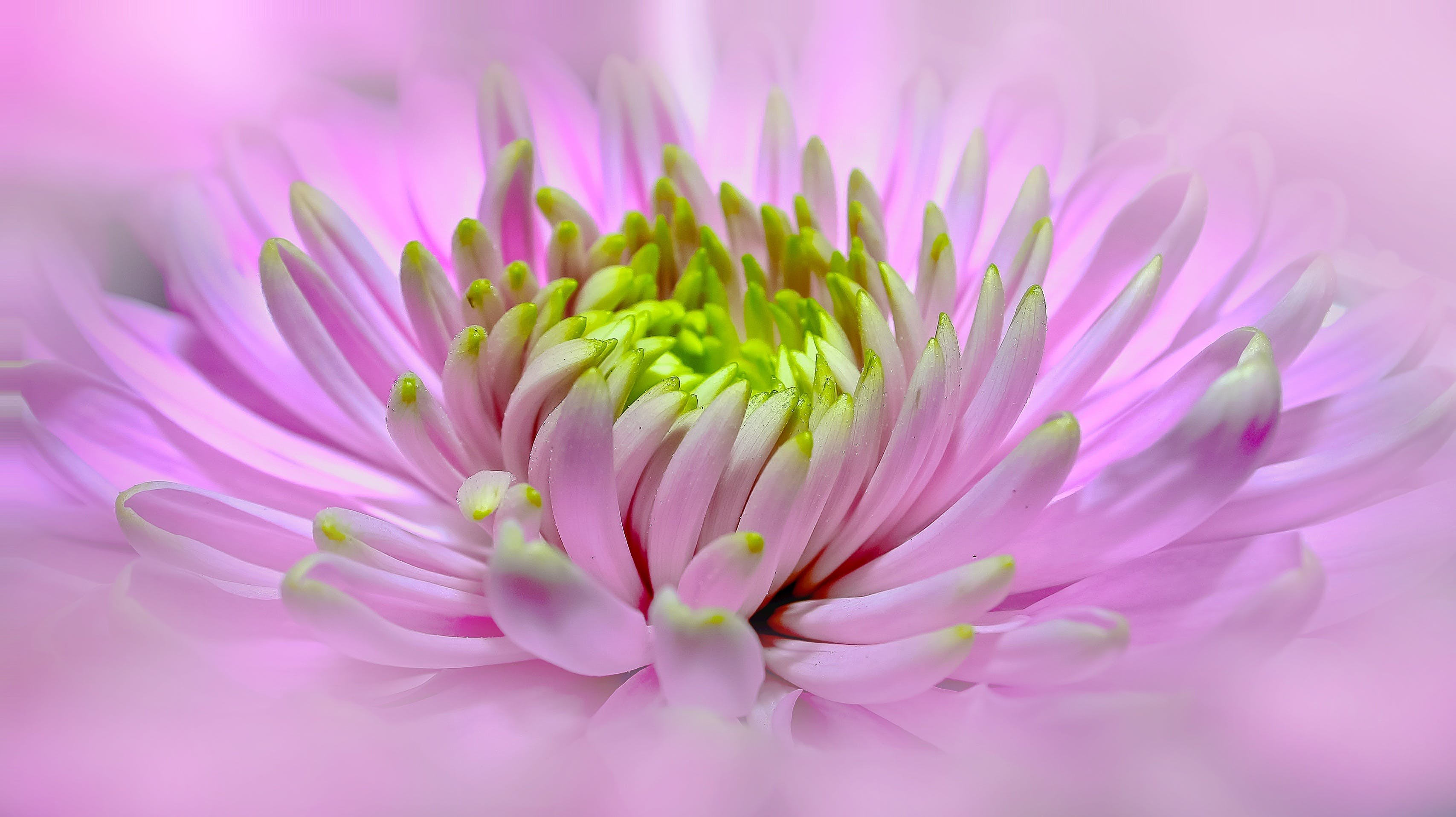 Yellow and Pink Petaled Flowe Closeup Photography