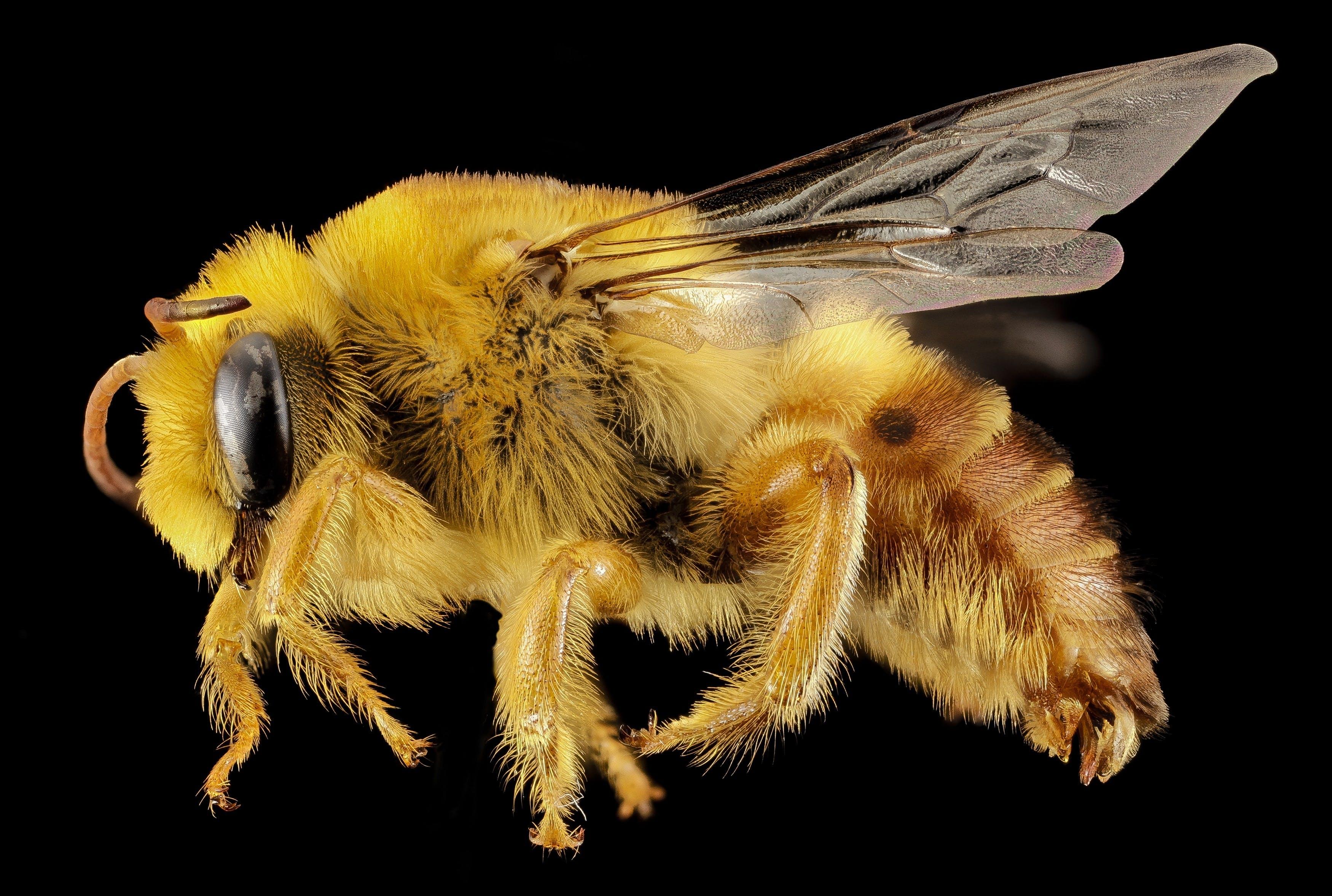 Kostenloses Stock Foto zu biene, insekt, nahansicht