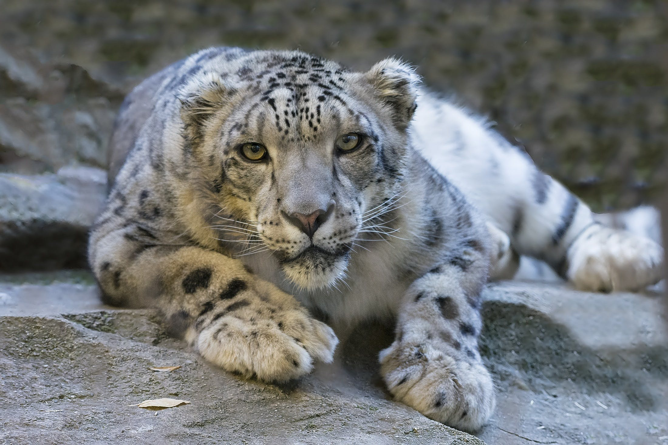 White Tiger on Grey Rock