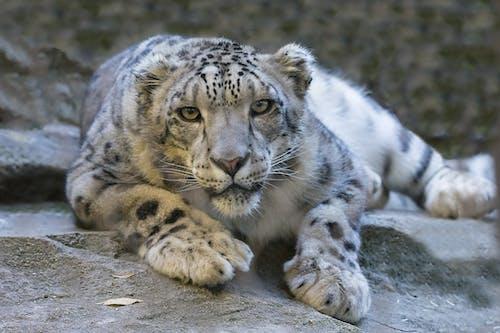 ネコ, ヒョウ, ユキヒョウ, 動物の無料の写真素材