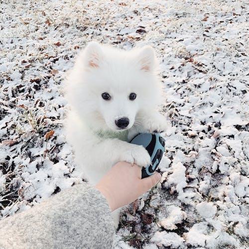 Fotobanka sbezplatnými fotkami na tému chladný, domáce zviera, japonský špic, pes