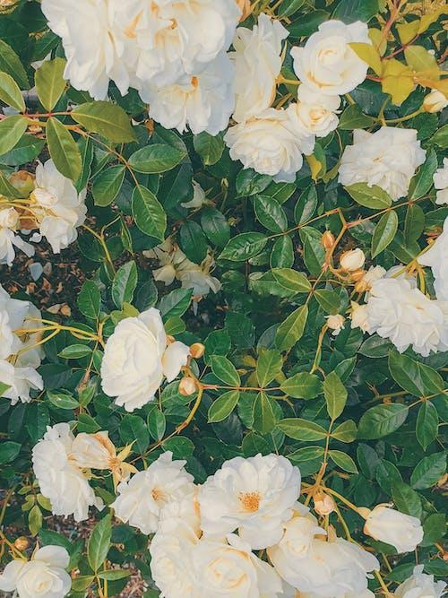 Ingyenes stockfotó botanikus kert, gyönyörű virág, huawei, mobiltelefon témában