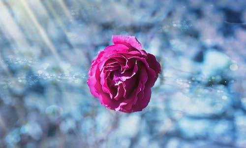 Imagine de stoc gratuită din floare, floră, gheață, înflorire