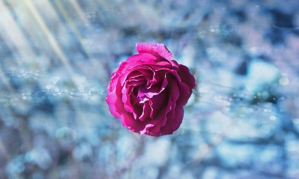 Free stock photo of ice, flower, pink, rose
