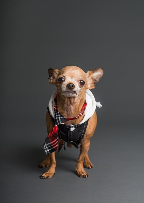 Photo of Brown Coated Chihuahua Wearing A Vest