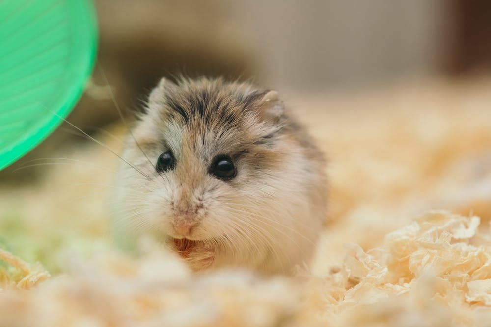 A caged hamster eating food.   Photo: Pexels