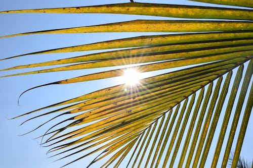 Free stock photo of light, palm, sun