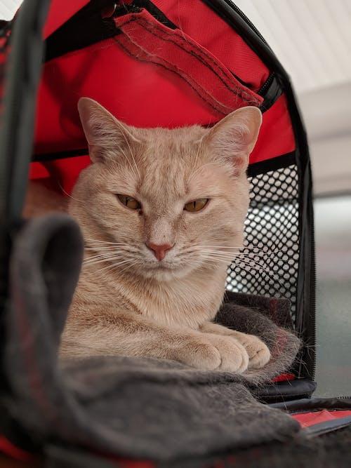 Free stock photo of #mobilechallenge, animal portrait, blur background, cat