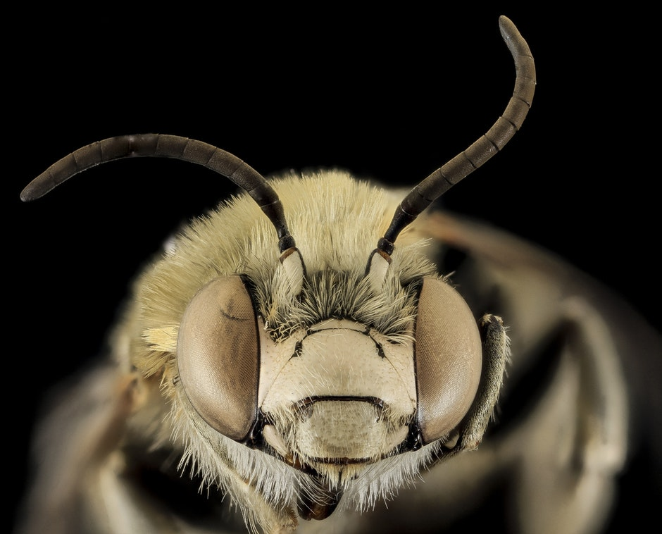 bee, bug, close up