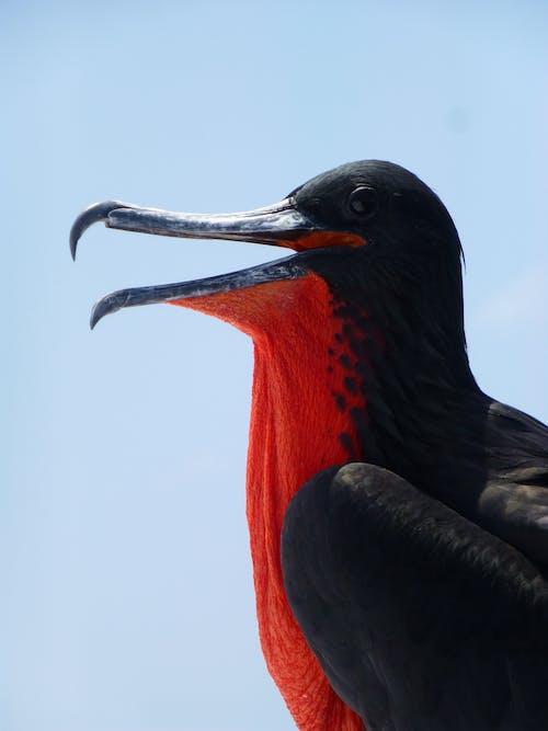 Δωρεάν στοκ φωτογραφιών με γκαλαπάγκος, θαλάσσιο πουλί, θαλασσοπούλι, φρεγάτα