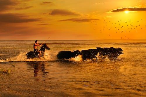 Mann, Der Pferd Im Wasser Reitet