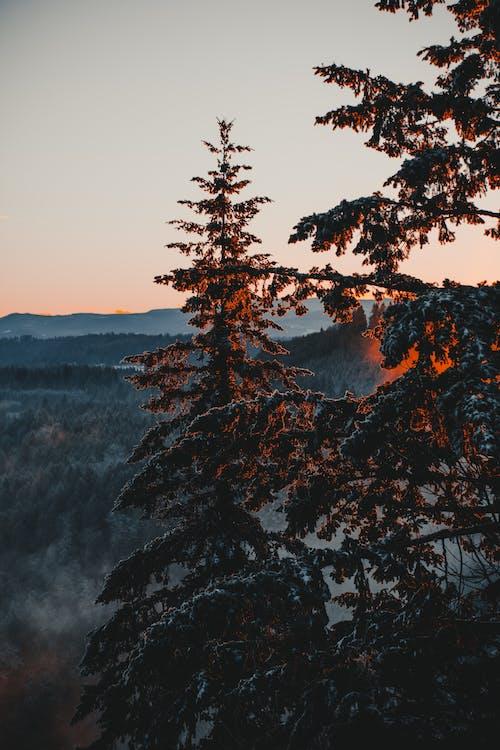 常綠, 早上, 有霧, 有霧的 的 免费素材照片