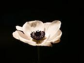 white, flower, bloom