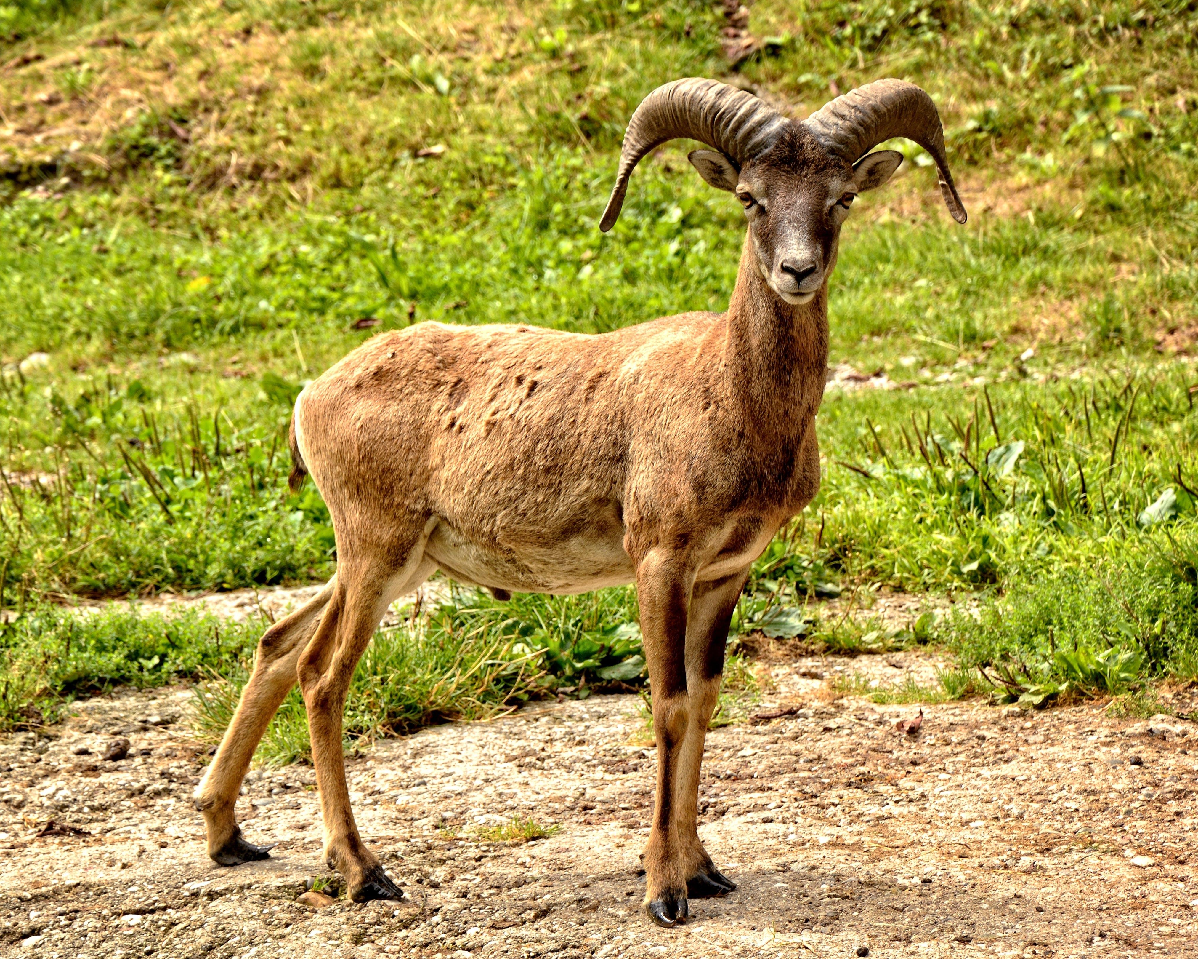 Brown Goat Standing Beside Grasses