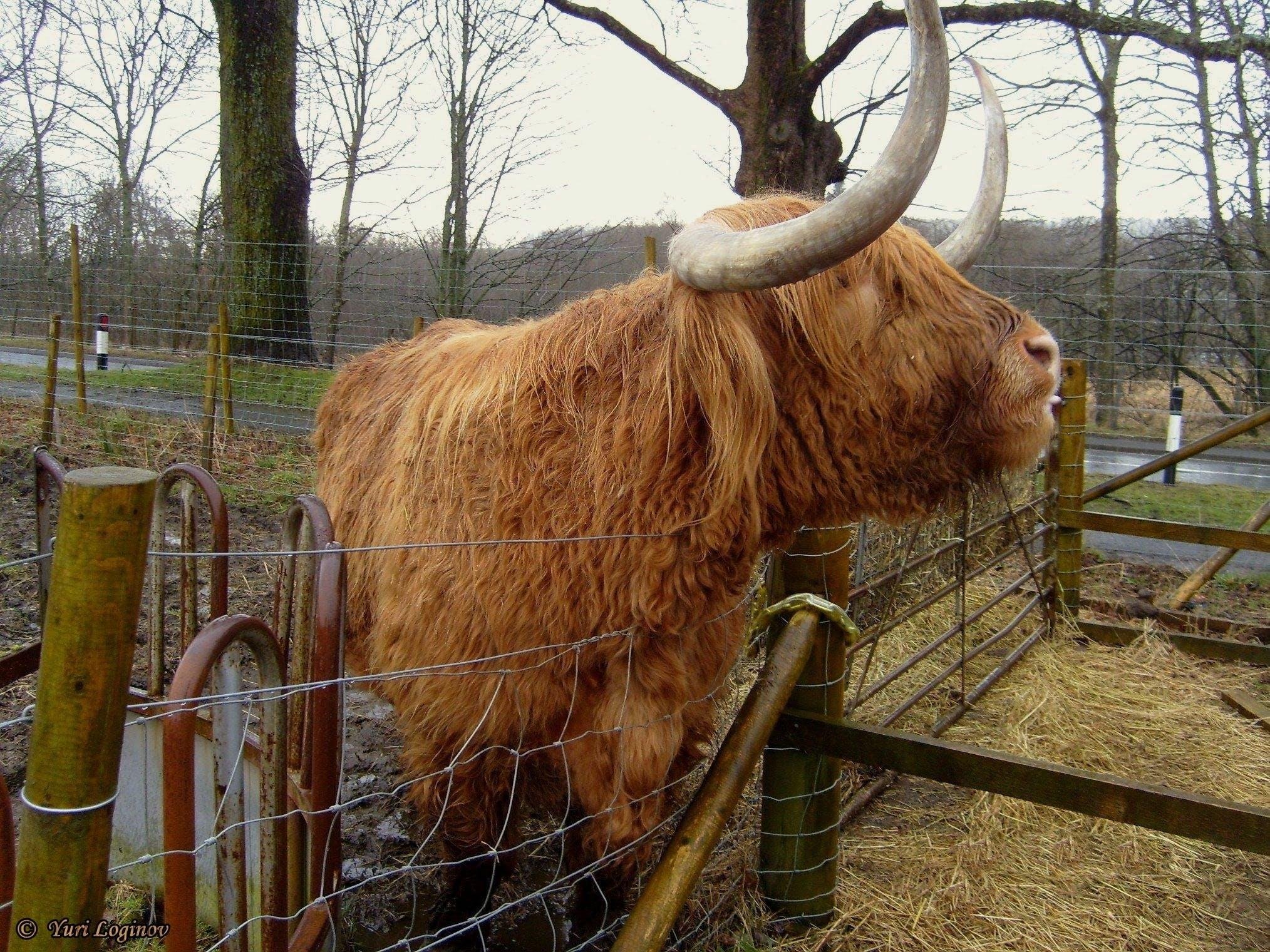 Free stock photo of scotland, united kingdom, Trossachs, Hamish cow