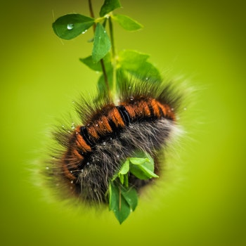 Nature wallpaper of nature, animal, caterpillar, larva